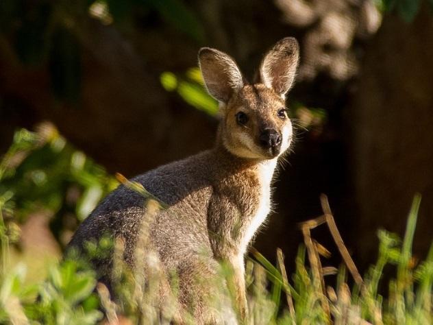 ВАвстралии кенгуру перепрыгнул через велосипедиста вдвижении