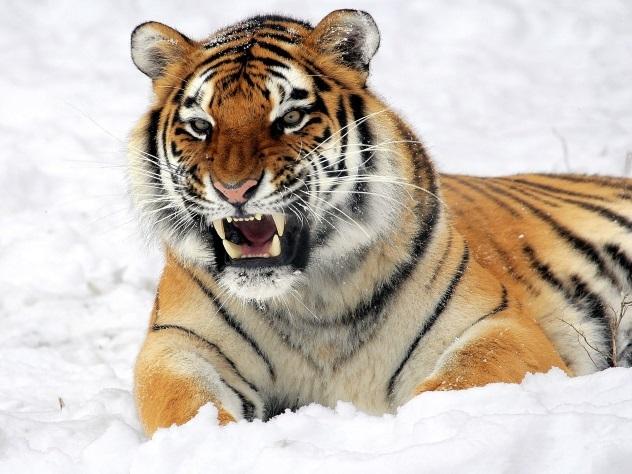 Толстые амурские тигры сломали снимавший ихквадрокоптер