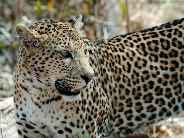ВЮжной Африке леопард спас котенка отпитона