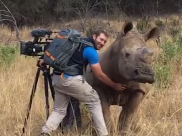 Дикий носорог попросил снимавшего его оператора почесать ему пузо