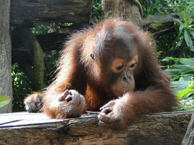 Просидевшего два года вящике орангутана спасли вИндонезии