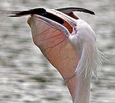 ...пеликан захлопнул клюв...