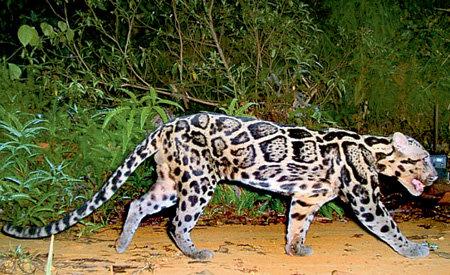 ...длина тела вместе с хвостом - до 1,9 м. От обычных леопардов отличаются более крупными, похожими на облака, пятнами на шкуре
