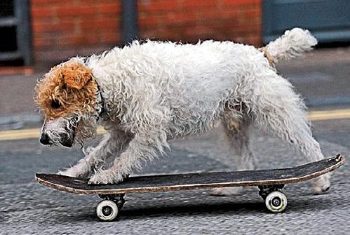 Хозяин терьера считает, что любовь собаки к скейтборду - не преступление