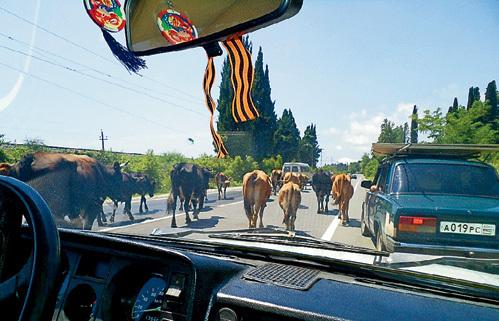 Коровы считают себя полноправными участниками дорожного движения, и с ними никто не спорит