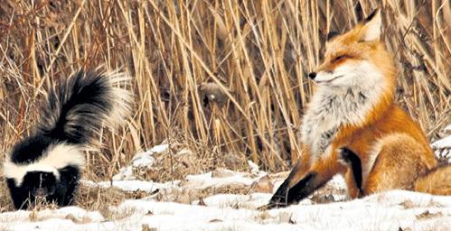 Убийственный запах выветрится с меха лиса в лучшем случае через несколько недель