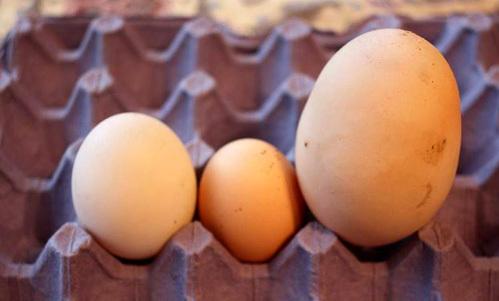 Гигантское яйцо в сравнении с обычным куриным (в центре) и утиным (слева)