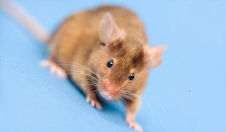 Российские мыши пойдут в разведку
