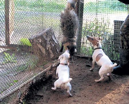 На притравке собака должна почуять запах свежей крови, чтобы не сплоховать на охоте