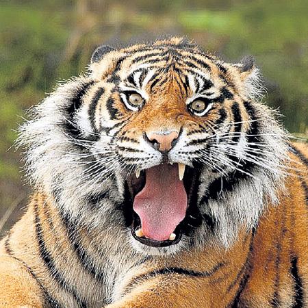 За одного тигра дрессировщик выкладывает до $20 тыс.