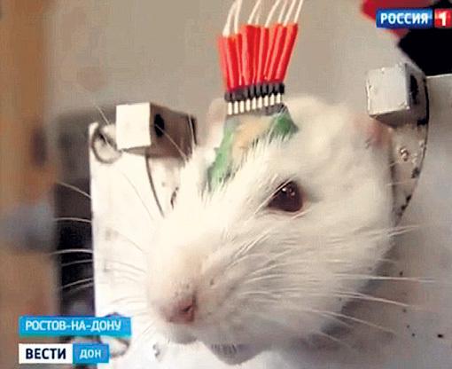 ...но наши боевые крыски ещё и различать мины научатся. И не только их