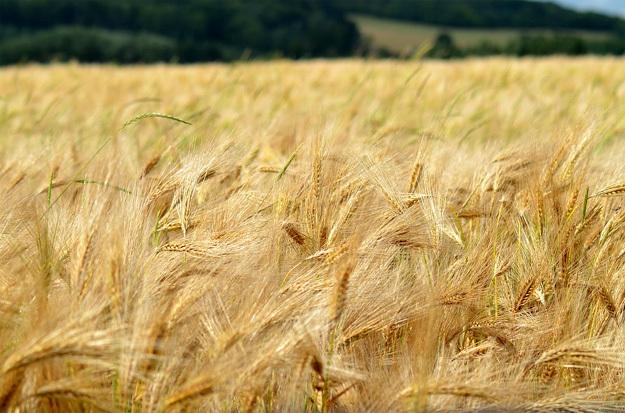 какое зерно выгодней выращивать