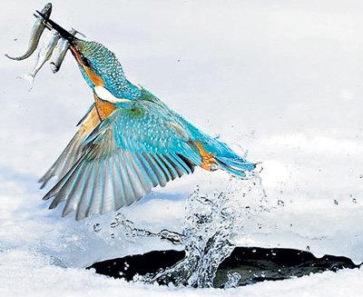 Свой улов зимородок выносит на берег, ударяет каждую рыбину несколько раз о ветку и проглатывает целиком