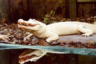 Редчайшие белые аллигаторы живут в зоопарке Нового Орлеана