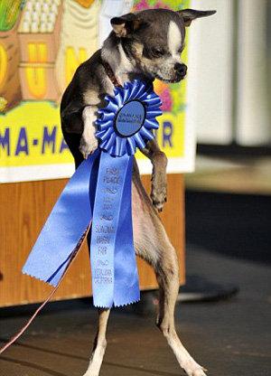 Титул самой уродливой собаки в мире-2010 получила Принцесса Эбби