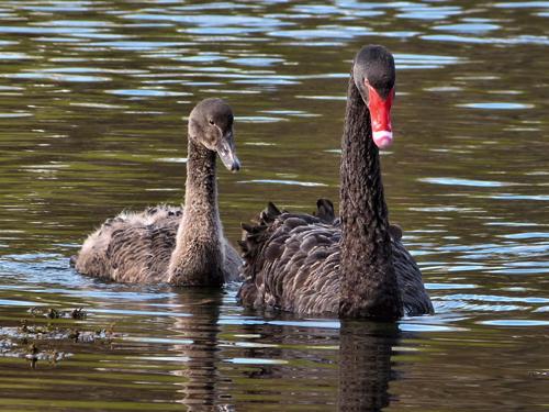Пара черных лебедей. Фото: Википедия