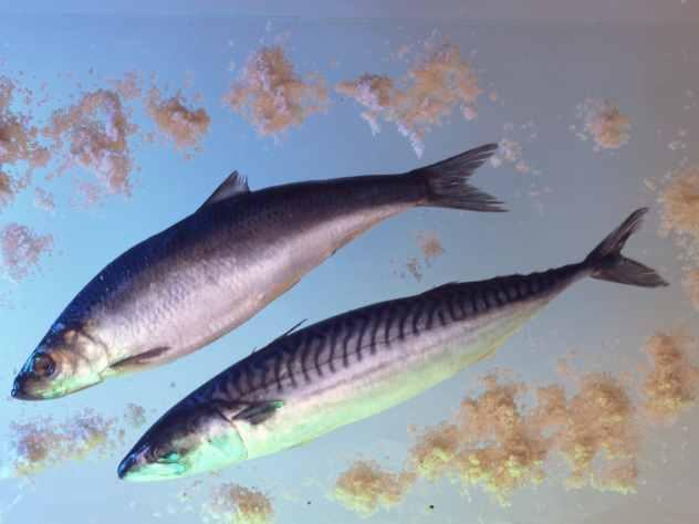 Ученые предполагают, что причиной массовой гибели сельди в заливе Пильтун на севере Сахалина стала сложная ледовая обстановка, которая привела к дефициту кислорода в воде.